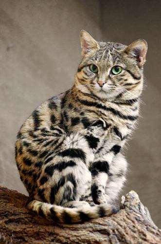 Gato patinegro