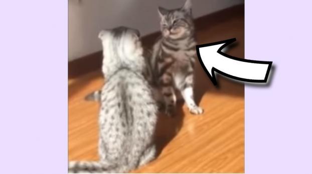 Tienes que ver el hilarante movimiento con que este gato vence a su enemigo