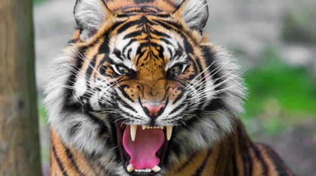 Este hombre nunca imaginó lo que ocultaba el tigre que invadió su propiedad