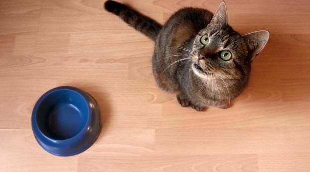 Por qué tu gato SIEMPRE tiene HAMBRE