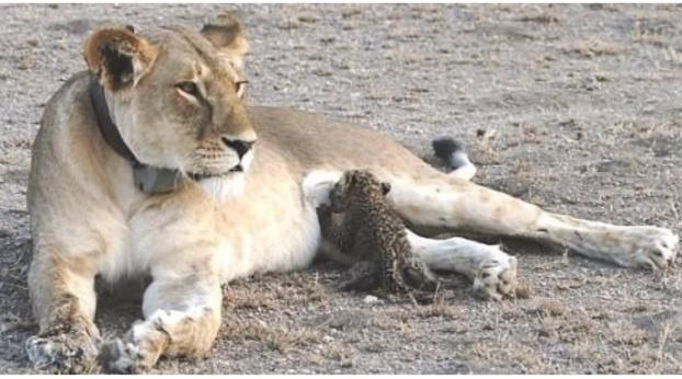 El insólito instinto maternal de esta leona es inexplicable para la ciencia