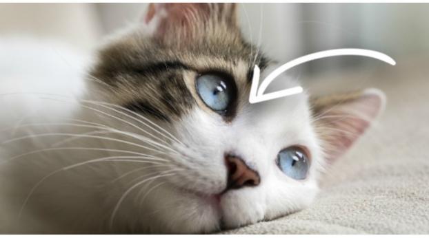 A los gatos no les dan resfriados, pero esta enfermedad los puede matar
