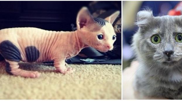 Estas son las diez razas de gato más raras del mundo
