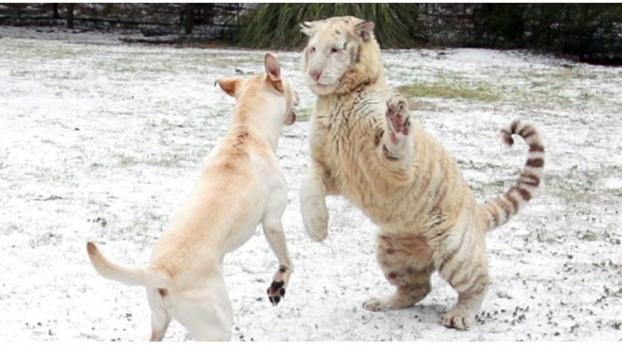 Inaudito: un perro y un tigre se divierten en la nieve