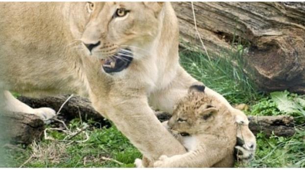 Lo que este zoo hizo con nueve leoncitos bebés te dejará helado