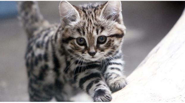 El gatito más MORTÍFERO del mundo es también el MÁS ADORABLE